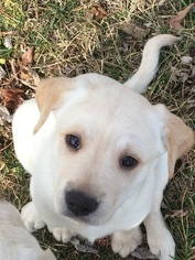 Labrador Retriever Puppy For Sale in NAPOLEON, MO