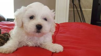 Zuchon Puppy For Sale in SHAWNEE, KS, USA