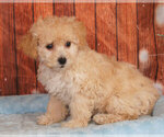 Small Photo #1 Shih-Poo Puppy For Sale in PENNS CREEK, PA, USA