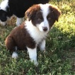 Miniature American Shepherd Puppy For Sale in FORT MORGAN, CO, USA