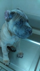 Cane Corso Puppy For Sale in LAS VEGAS, NV