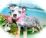 Small Photo #3 Australian Cattle Dog Puppy For Sale in HAMMOND, IN, USA