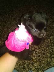 Pomeranian Puppy For Sale in OTTAWA, OH