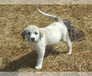 Anatolian Shepherd Puppy for Sale in COMMERCE, Texas USA