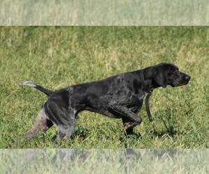 Father of the German Shorthaired Pointer puppies born on 03/20/2019
