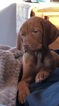 Vizsla Puppy For Sale in INSTITUTE, WI, USA