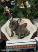 French Bulldog Puppy For Sale in EVERETT, WA, USA
