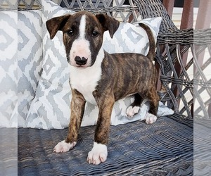 Bull Terrier Puppy for Sale in BOX ELDER, South Dakota USA