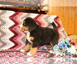Small #2 Bernese Mountain Dog