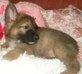 Small #3 German Shepherd Dog