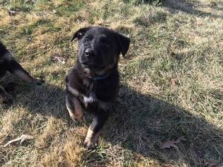 German Shepherd Dog Puppy For Sale in TRINITY, NC