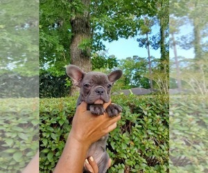 French Bulldog Puppy for sale in JACKSONVILLE, FL, USA