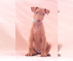 Puppy 8 Pharaoh Hound