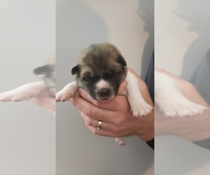 Akita Puppy for Sale in HUTCHINSON, Minnesota USA
