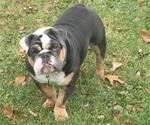 Small Photo #1 English Bulldogge Puppy For Sale in ARGENTA, IL, USA