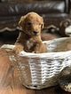 Poodle (Standard) Puppy For Sale in DAYTON, Texas,