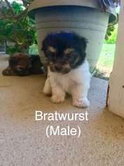 Havanese Puppy For Sale in TEMECULA, CA