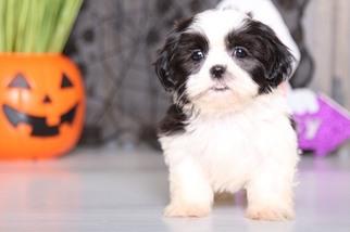 View Ad Shih Tzu Puppy For Sale Ohio Mount Vernon Usa