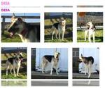 Small #555 German Shepherd Dog