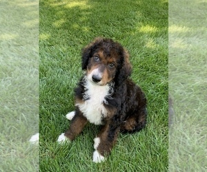 Bernedoodle Puppy for Sale in HAMILTON, Michigan USA