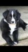 Australian Shepherd Puppy For Sale in LEXINGTON, KY, USA