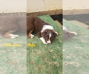 Australian Shepherd Puppy for sale in BAILEYTON, AL, USA