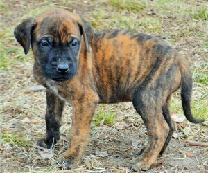 Mastiff Puppy for sale in CADILLAC, MI, USA