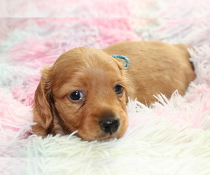 Dachshund Puppy for Sale in RIALTO, California USA