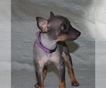 Puppy 3 American Hairless Terrier