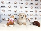 Maltipoo-Unknown Mix Puppy For Sale in TEMPLE CITY, CA, USA