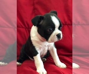 Boston Terrier Puppy for Sale in ROCHESTER, Washington USA