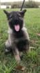 German Shepherd Dog Puppy For Sale in KEYSTONE HEIGHTS, FL