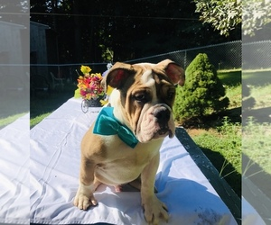 English Bulldog Puppy for Sale in CRANSTON, Rhode Island USA