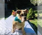 English Bulldog Puppy For Sale in CRANSTON, RI, USA
