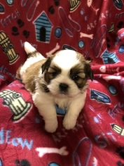 Puppies And Dogs For Sale In Seneca Mo Usa