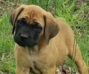 Mastiff Puppy for sale in LE ROY, MI, USA