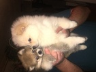 Pomeranian Puppy For Sale in ELIZABETHTON, TN