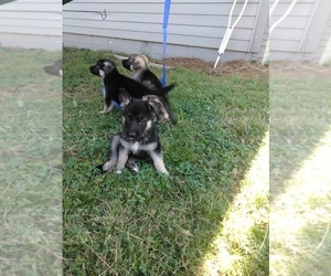 German Shepherd Dog Puppy for sale in FORT SMITH, AR, USA