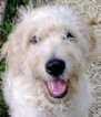 Goldendoodle Puppy For Sale in ATLANTA, Georgia,