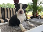 Boston Terrier Puppy For Sale in MILLERSBURG, OH, USA