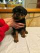 AKC Registered Rottweiler Puppies