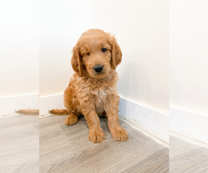 Goldendoodle Puppy for sale in WOODS CROSS, UT, USA