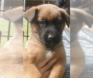 German Shepherd Dog Puppy for sale in STANARDSVILLE, VA, USA