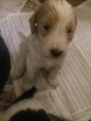 Goldendoodle Puppy For Sale in PORT RICHEY, FL
