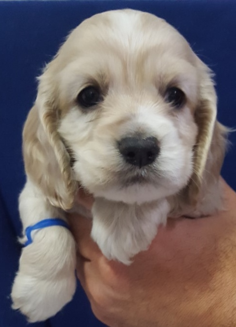 View Ad: Cocker Spaniel Puppy for Sale In Belgium