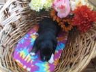 Australian Shepherd Puppy For Sale in RUSH CITY, Minnesota,