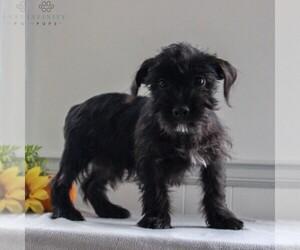 Maltipoo Puppy for sale in GORDONVILLE, PA, USA