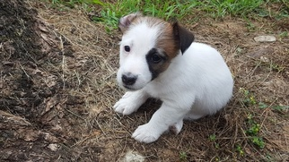 Jack Russell Terrier Puppy For Sale in CHRISTIANA, PA, USA