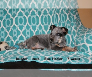 Australian Cattle Dog Puppy for sale in CLARKRANGE, TN, USA