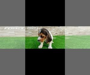 Beagle Puppy for sale in SAN BERNARDINO, CA, USA